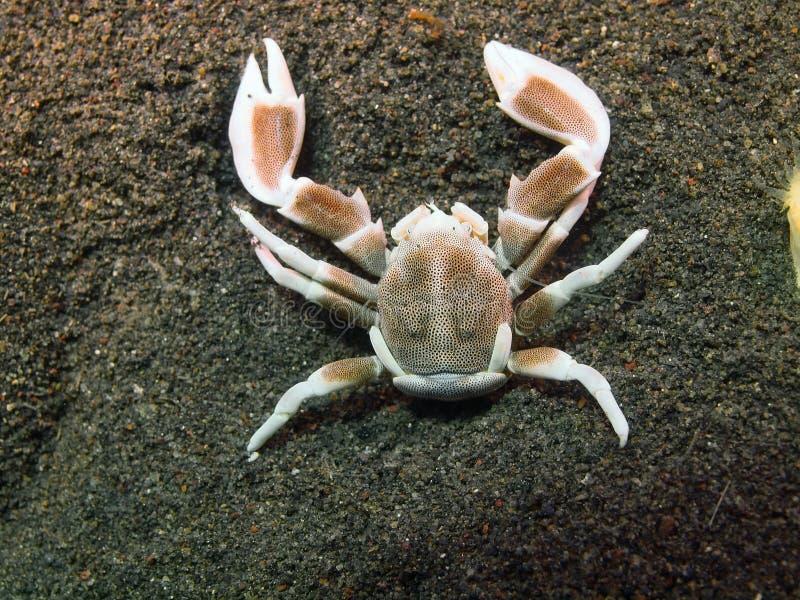Un crabe plus propre photo libre de droits