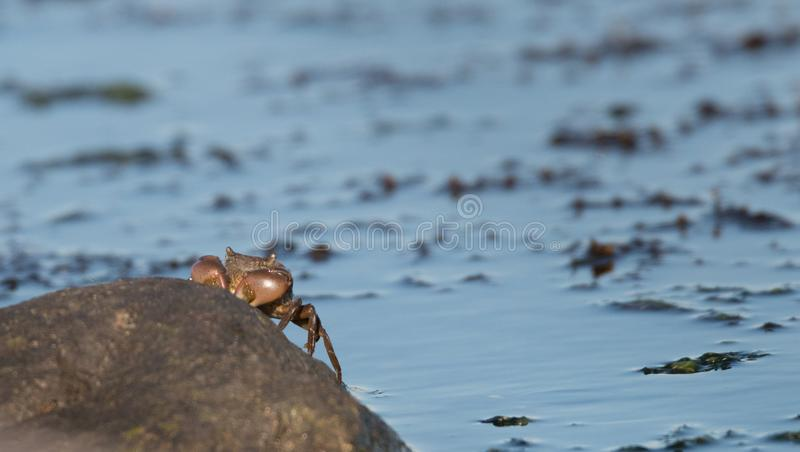 Un crabe sortant de l'eau photo stock