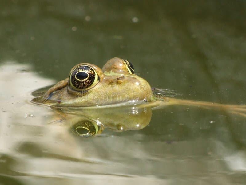 Un crapaud avec la tête au-dessus de la surface de l'eau photographie stock