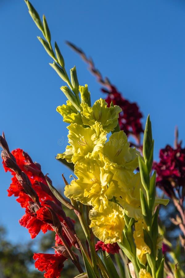 Un crecimiento de flor del gladiolo en el jardín del verano foto de archivo