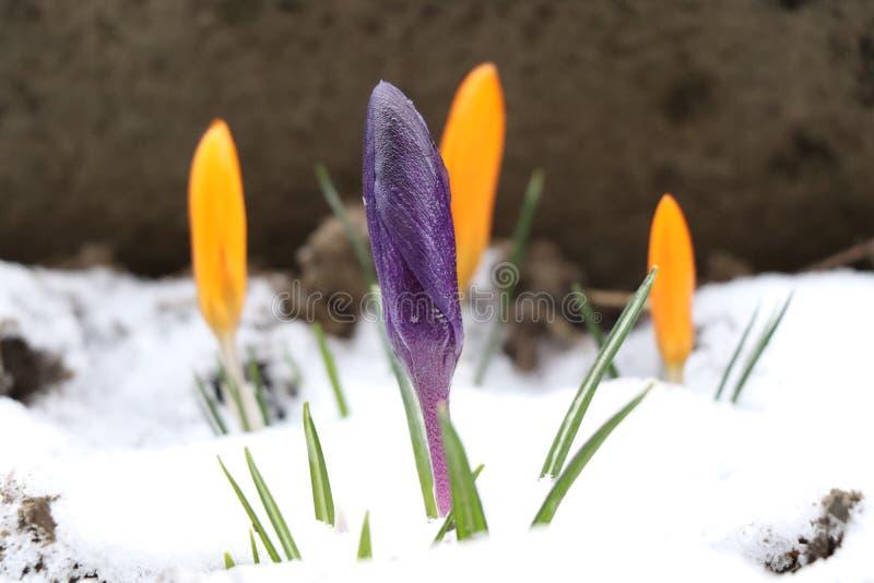 Un crecimiento, flor cerrado, púrpura del azafrán a través de la nieve el la primavera imagenes de archivo