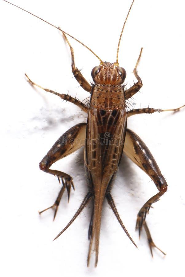 Un cricket image stock