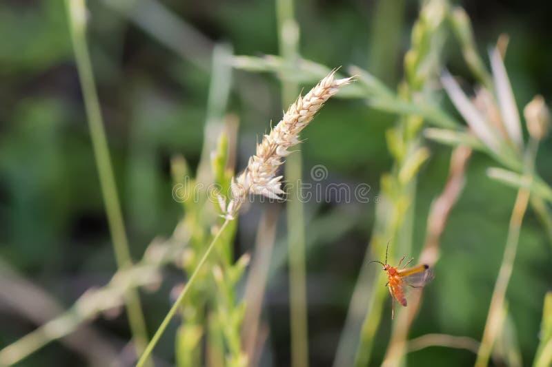 Un cricket mentre volando ad una punta fotografia stock