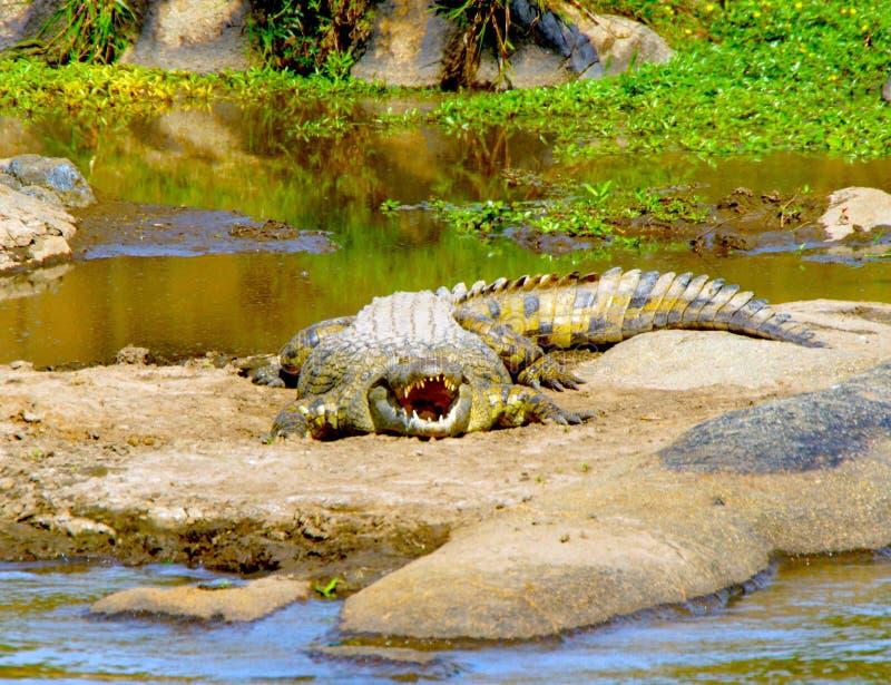 Un Croc africano fotografie stock