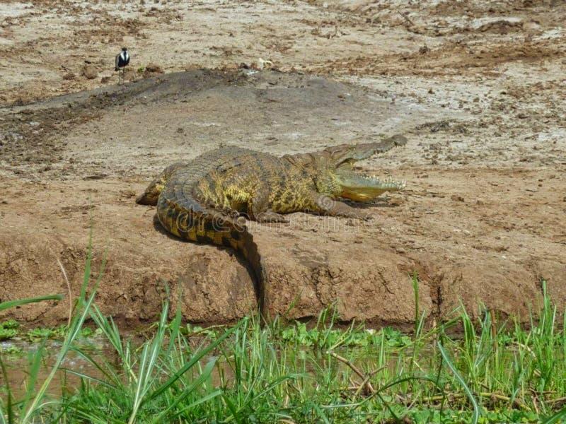 un crocodile sur une roche en Afrique photo stock
