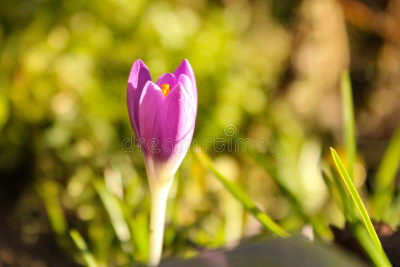Un crocus violet avec un fond vert en hiver photos libres de droits