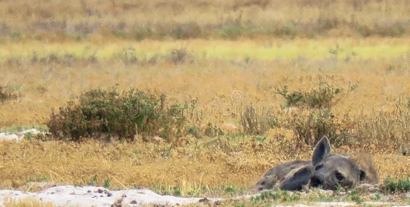 Un crocuta repéré de crocuta de hyaena se situe à plat dans la prairie aux plaines de Liuwa, Zambie images stock