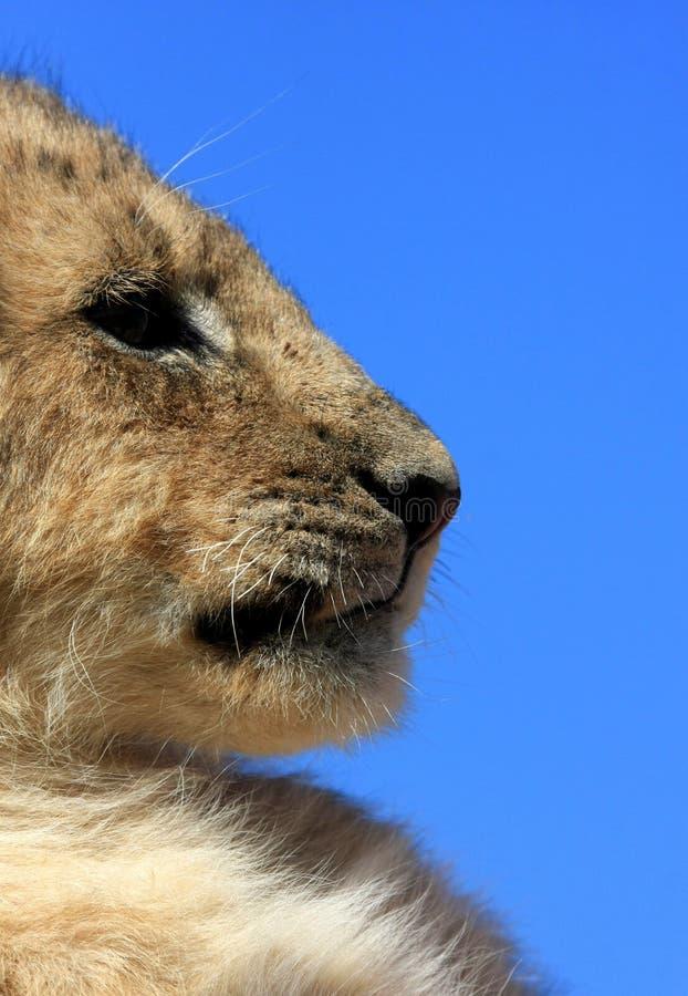 Un cub di leone da un angolo basso fotografie stock