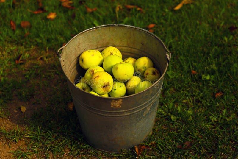 Un cubo de manzanas orgánicas imagenes de archivo