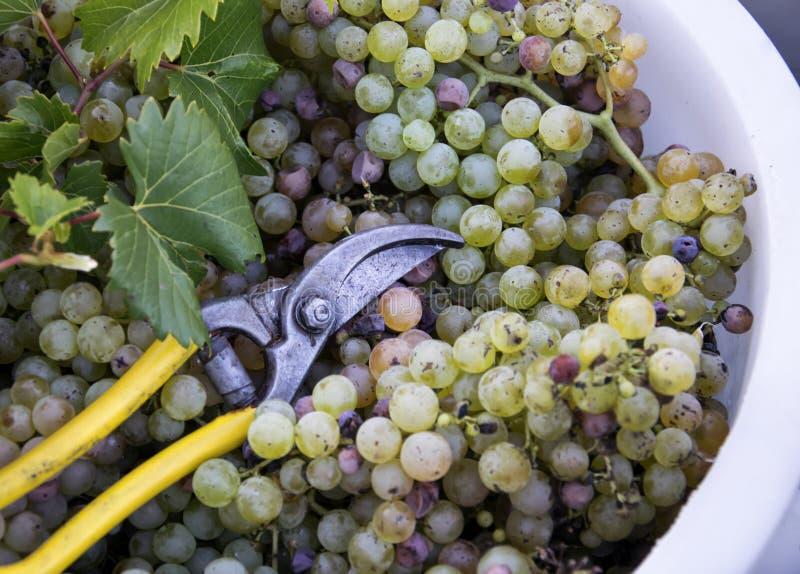 Un cubo de uva Tema del viñedo con las uvas blancas y las tijeras Región de Chianti, Toscana, Italia fotografía de archivo