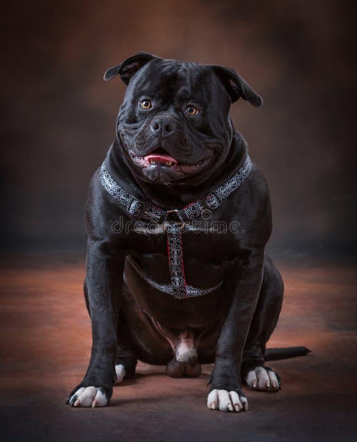 Un cucciolo del bulldog fotografie stock