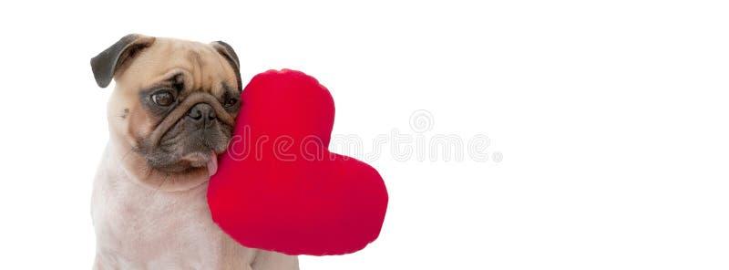 Un cucciolo di cane sveglio del carlino del biglietto di S. Valentino dell'amante con un cuore rosso ha isolato la o fotografie stock libere da diritti