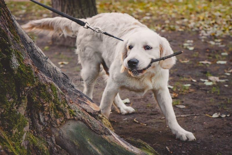 Un cucciolo di golden retriever che gioca con un bastone nel parco immagini stock libere da diritti