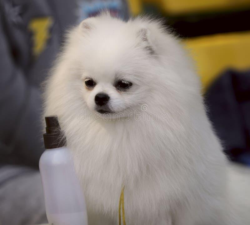 Un cucciolo di un spitz-cane bianco di Pomeranian fotografia stock