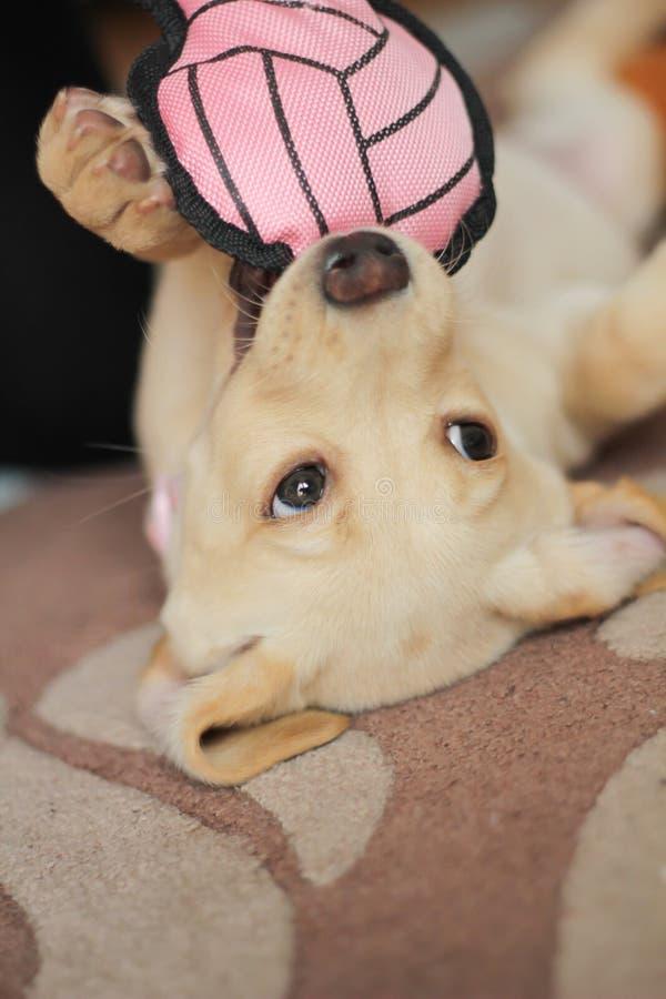 Un cucciolo dorato sveglio di labrador fotografie stock