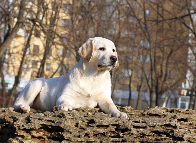 Un cucciolo felice giallo di labrador in ritratto del giardino fotografia stock