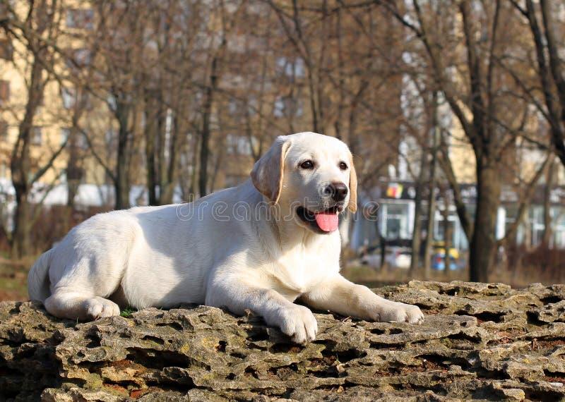 Un cucciolo felice giallo di labrador in ritratto del giardino immagine stock