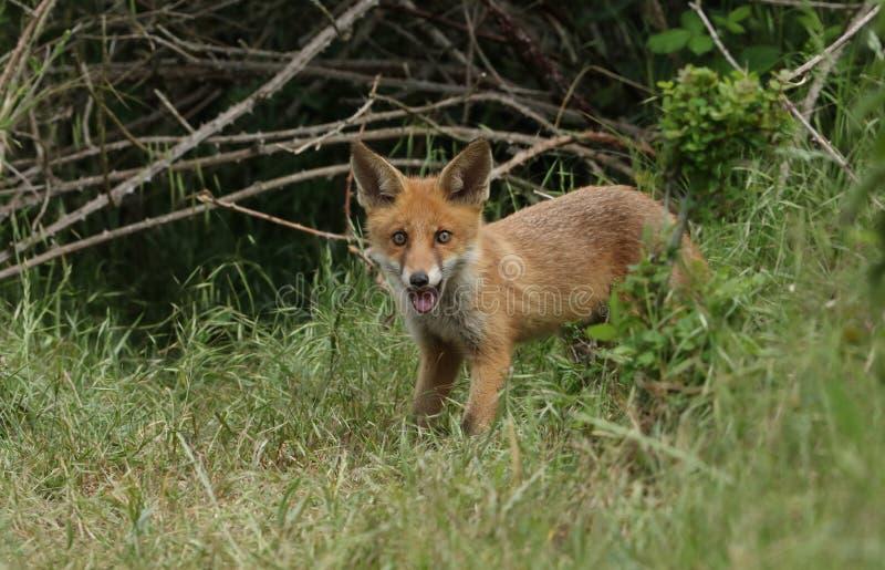 Un cucciolo selvaggio sveglio di Fox rosso, vulpes di vulpes, stanti all'entrata alla tana immagine stock libera da diritti