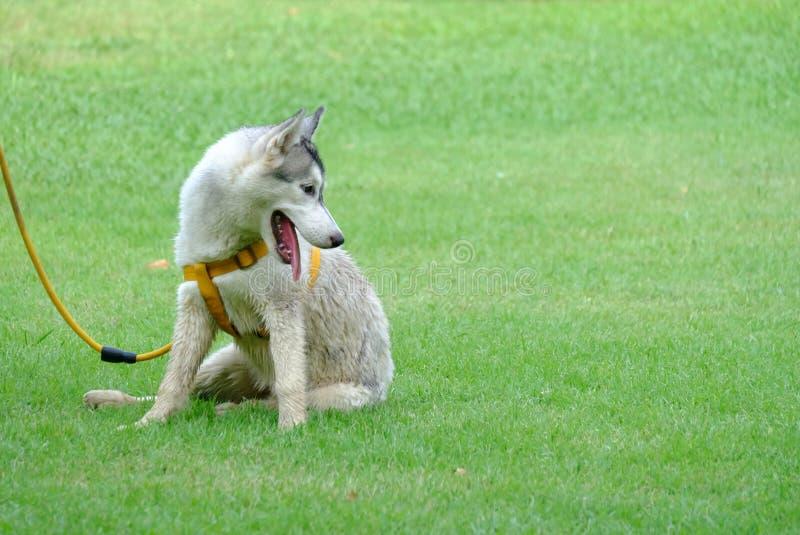 Un cucciolo sveglio del husky della Siberia che si siede sul campo di erba verde con la lingua fuori immagine stock libera da diritti