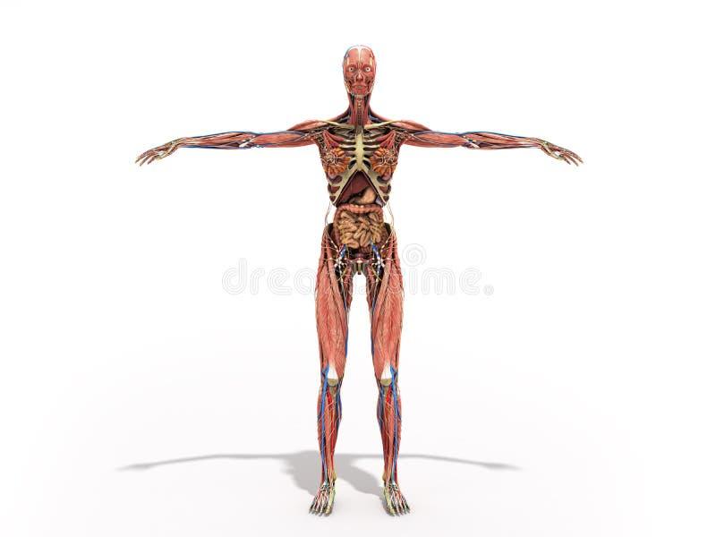 Un cuerpo de la mujer para los libros en la anatomía 3d rinde en blanco libre illustration