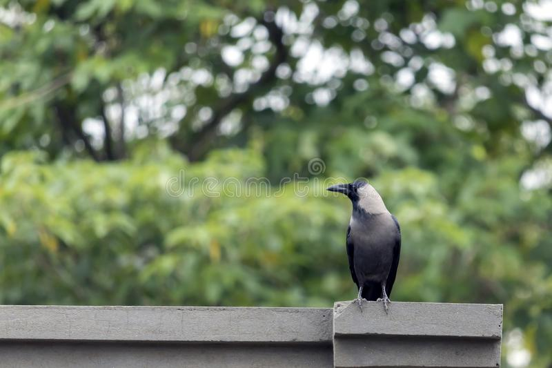 Un cuervo de casa imagen de archivo