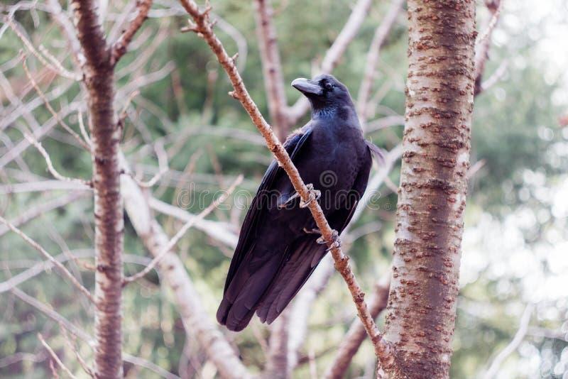 Un cuervo de la selva en un árbol imagen de archivo libre de regalías