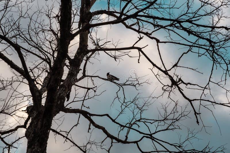 Un cuervo en un árbol muerto foto de archivo
