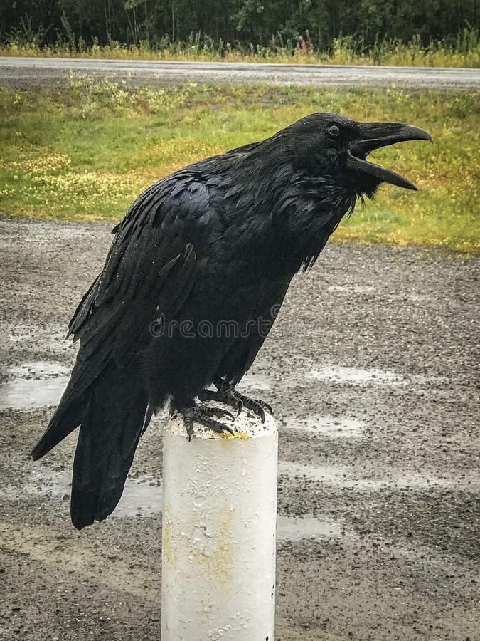 Un cuervo grande en el territorio del Yukón imagen de archivo