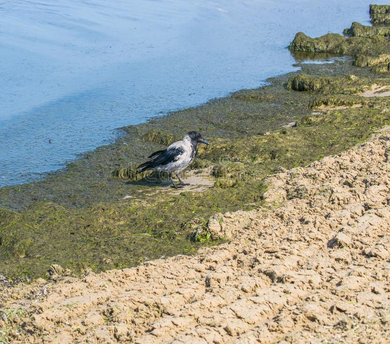 Un cuervo gris busca la comida en el fango del mar en la costa imagenes de archivo