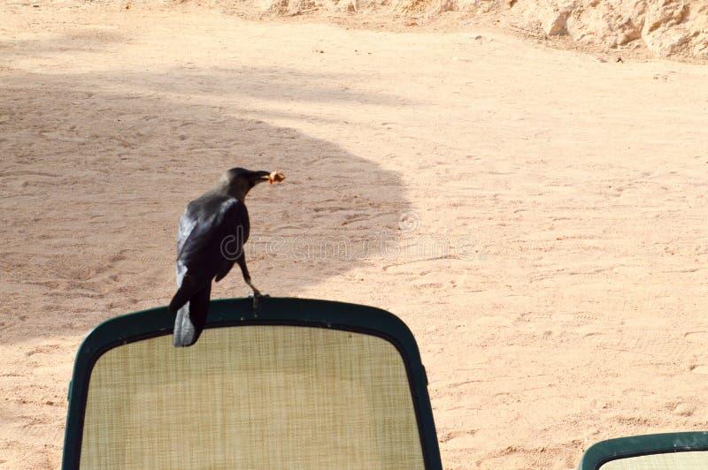 Un cuervo hermoso negro con una comida en su boca se sienta en un ocioso tejido blanco-y-verde del sol para relajarse en la playa foto de archivo