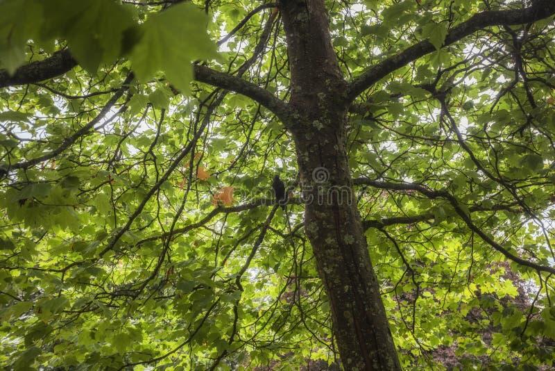 Un cuervo misterioso encaramado fotografía de archivo