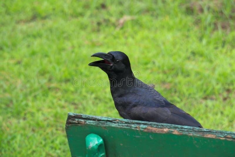 Un cuervo negro, sentándose en un banco de parque verde, hablando en alta voz a quienquiera está escuchando fotos de archivo libres de regalías