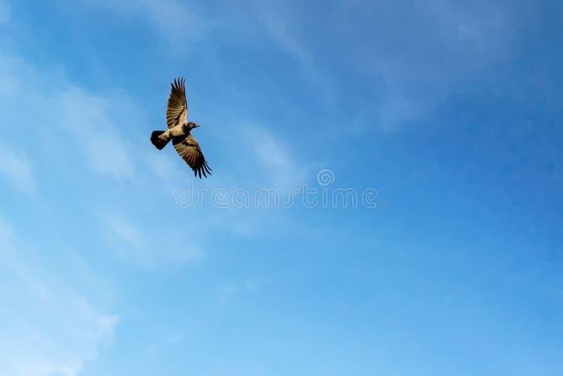 Un cuervo negro vuela en el cielo azul Cuervo en vuelo contra azul fotografía de archivo