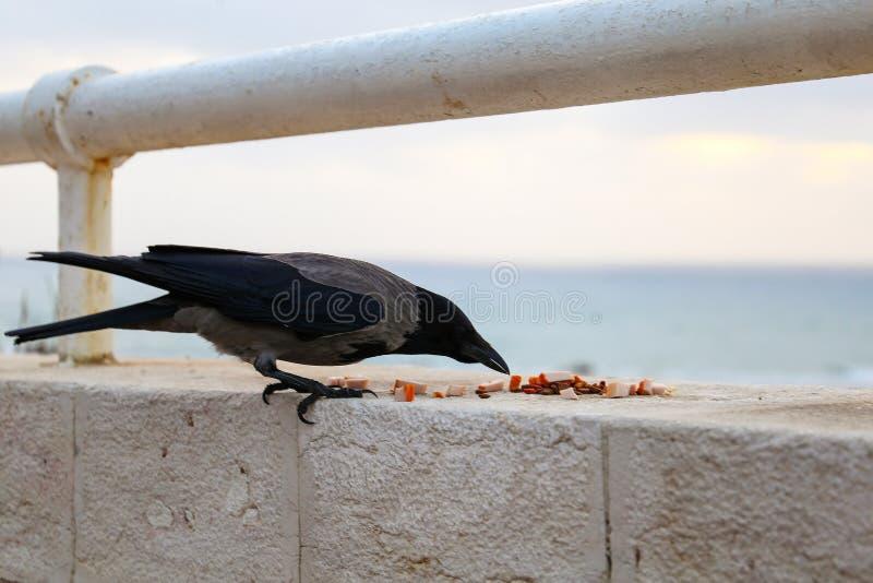 Un cuervo negro y gris que come la comida en la costa imagen de archivo