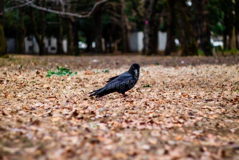 Un cuervo que le mira imagen de archivo