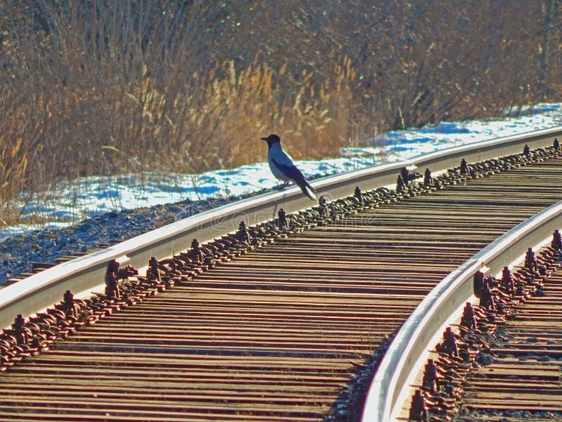 Un cuervo que se sienta en una pista ferroviaria en los rayos de la puesta del sol fotografía de archivo