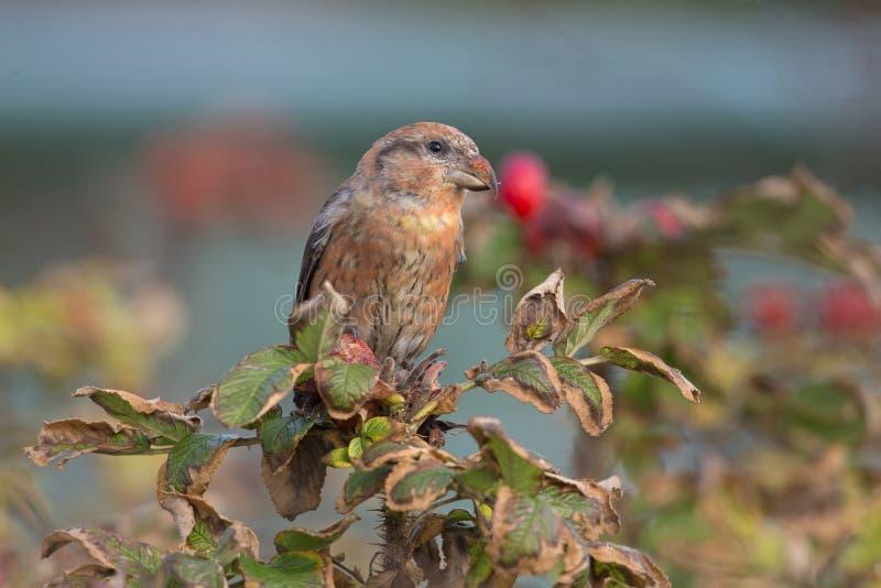 Un curvirostra rosso maschio di Loxia del Crossbill si è appollaiato su un ramo e sul godere della vista un giorno di inverno fre fotografia stock libera da diritti