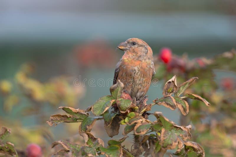 Un curvirostra rosso maschio di Loxia del Crossbill si è appollaiato su un ramo e sul godere della vista un giorno di inverno fre fotografia stock