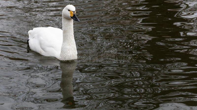 Un cygne détendant dans les eaux calmes d'un lac photographie stock libre de droits