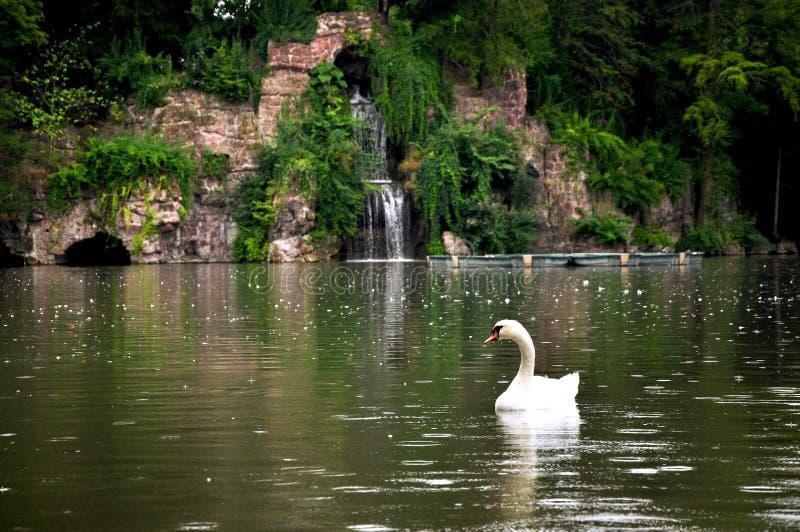Un cygne de flottement dans le lac photo libre de droits