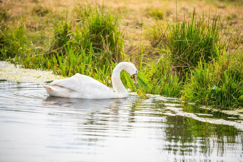 Un cygne est sur une rivière tout en recherchant la nourriture images libres de droits