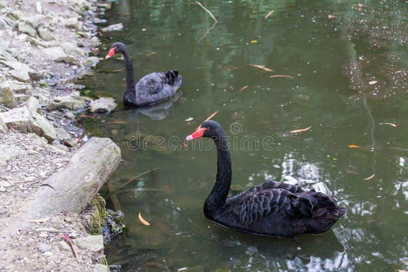 Un cygne noir fier avec un bec rouge nage sur la surface d'un étang dans le jardin botanique de Sotchi Russie photos stock