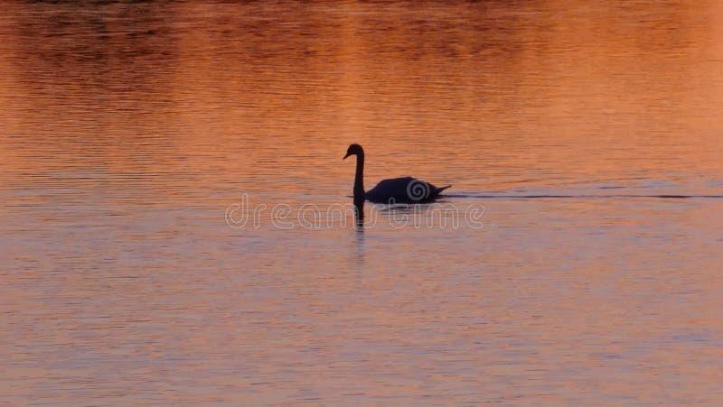 Un cygne noir nage dans le soleil d'or de soirée sur un lac photo stock