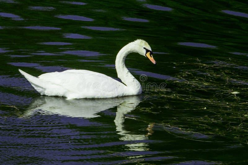 Un cygne solitaire flottant sur la rivière photos libres de droits