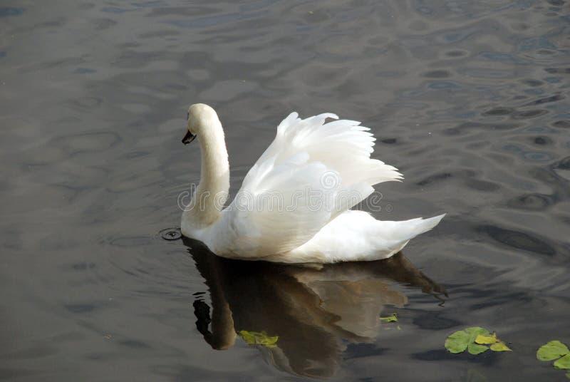 Un cygne sur l'eau foncée photo stock