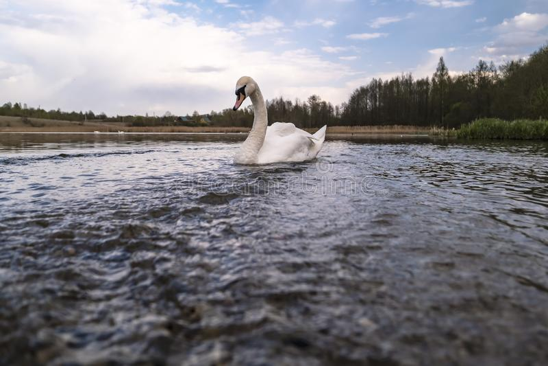 Un Cygnus blanco hermoso, agraciado del cisne nada en un lago, en un día de primavera imágenes de archivo libres de regalías