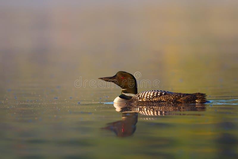 Un début de la matinée commun de natation d'immer de Gavia de dingue sur Wilson Lake, Que, Canada photos libres de droits