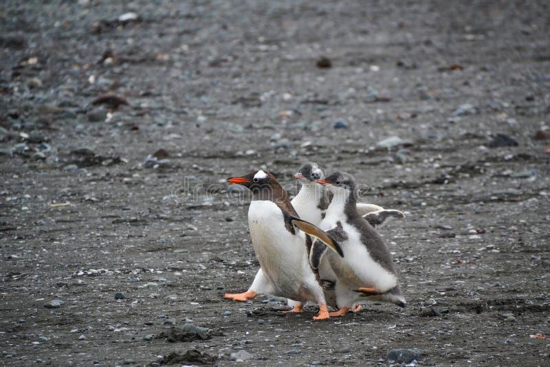 Un défilé de pingouin photos stock