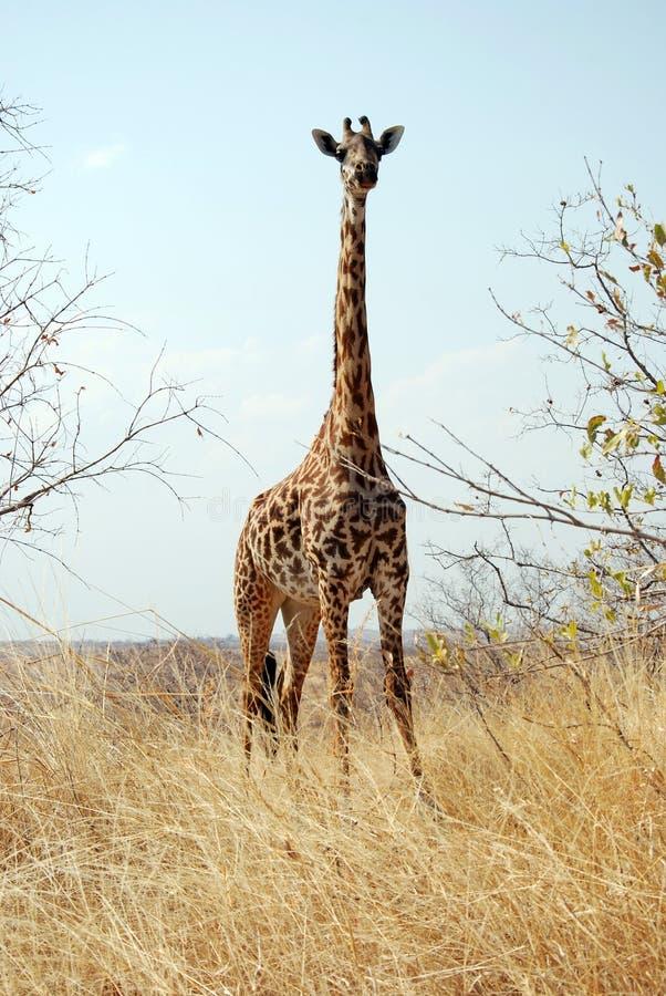 Un día de safari en Tanzania - África - jirafa foto de archivo