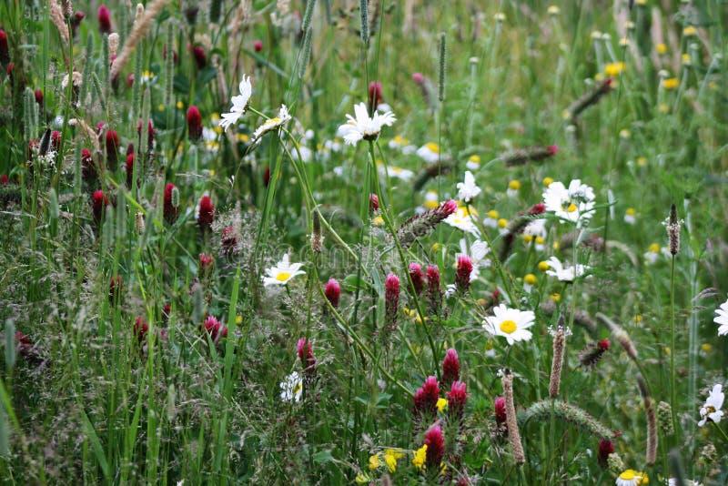 Un día de verano con las margaritas florecientes y otras flores rojas en el mids de la hierba verde enorme fotos de archivo